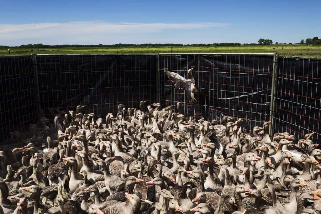 Nedeland, omgeving Abcoude Vinkeveen, 22-05-2014. In het gebied rond Schiphol worden grauwe ganzen bijeengedreven in een kraal met kooi en met gas (koolstofdioxide) om het leven gebracht in een aanhanger achter een busje. Dit ivm o.a. de veiligheid van het vliegverkeer en de schade die ze veroorzaken voor boeren en  bedrijven. Hierna worden ze opgehaald door een poulier en verwerkt voor o.a. de voedingsindustrie.  Bij de vergassing, aldus Dhr Den Hartog van Duke Faunabeheer, verliezen de ganzen eerst het bewustzijn om vervolgens door zuurstoftekort om het leven te komen. Ieder jaar gaat het om enkele duizenden dieren (varieerend tot 8 a 10 duizend). De dieren kunnen worden gevangen omdat ze in de rui zijn en de meesten niet meer/nog niet kunnen vliegen.