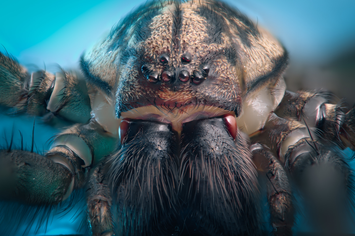 House spider (Tegenaria species) © Mikael Buck / Sony