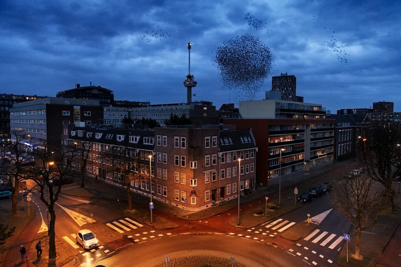 Foto uit de serie over spreeuwen in Rotterdam,een serie waarmee Jasper Doest in 2015 de categorie Natuur en Milieu won.